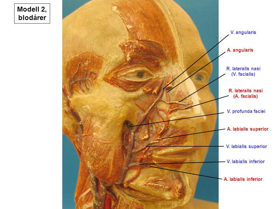 A. labialis inferior V. labialis inferior V. labialis superior A. labialis superior V. profunda faciei R. lateralis nasi (A. facialis) R. lateralis na