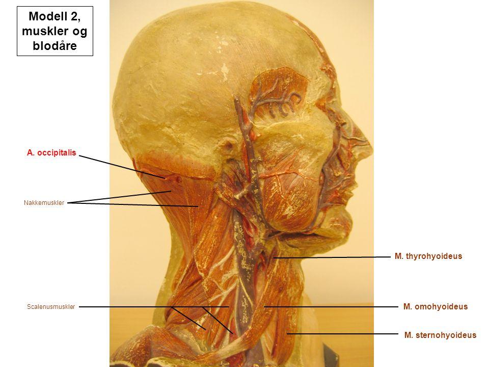 Nakkemuskler A. occipitalis Scalenusmuskler M. thyrohyoideus M. sternohyoideus M. omohyoideus Modell 2, muskler og blodåre