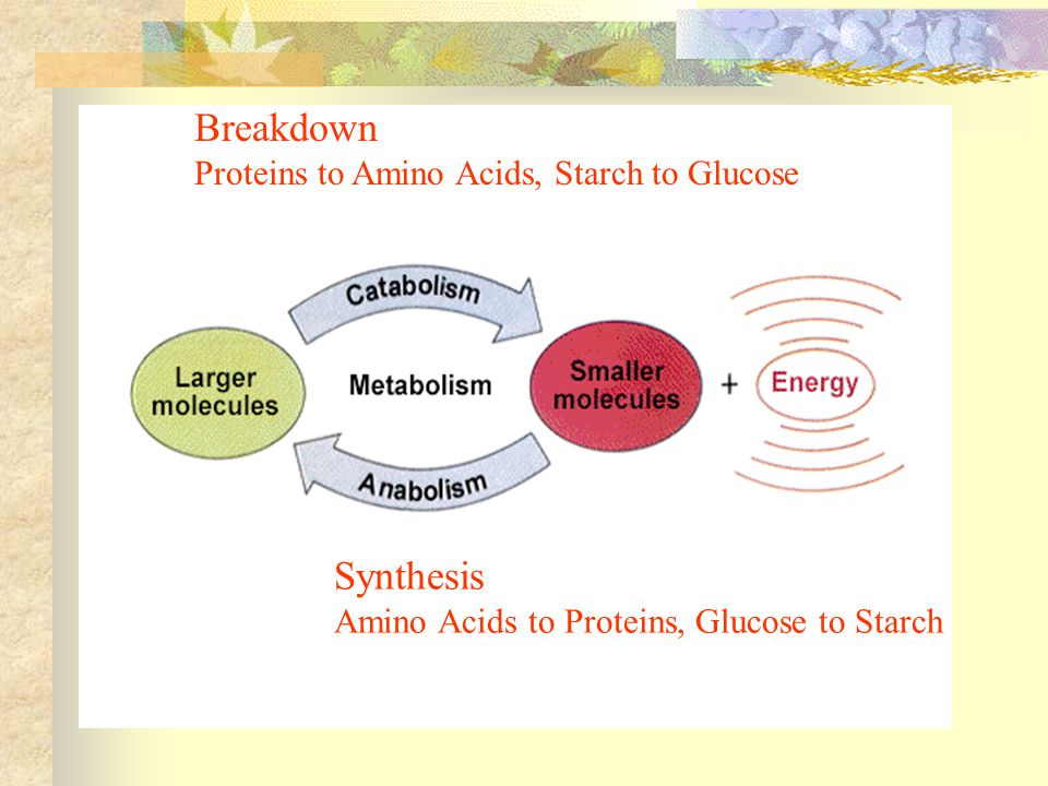 Breakdown Proteins to Amino Acids, Starch to Glucose Synthesis Amino Acids to Proteins, Glucose to Starch