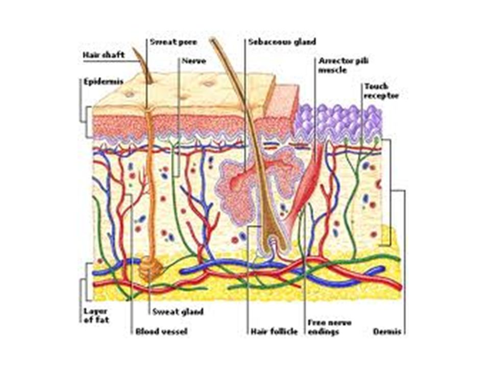 Summary of the local physiological effects of heating Increase in temperature 39-44C Analgesic Efffects on sensory Nerve endings Capillary Dilatation Axon reflex Reduction of pain And muscle spasm Increased Capillary filtration Clearing of metabolism Reduction of oedema Arteriole dilatation Increased vasodilatation Increase nutrient Antibodies leucotysosis Cronic inflammation OR Acute inflammation Increase Skin blood Flow INCREASED METABOLISM Biochemical And biopysical Reaction stimulated DECREASED VISCOSITY OF COLLAGEN Increased extensibility Of tendon and capsule Ligament is produced by Stretch and load adhesions
