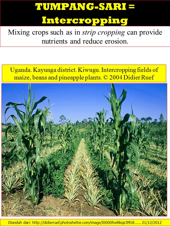 TUMPANG-SARI = Intercropping Mixing crops such as in strip cropping can provide nutrients and reduce erosion.