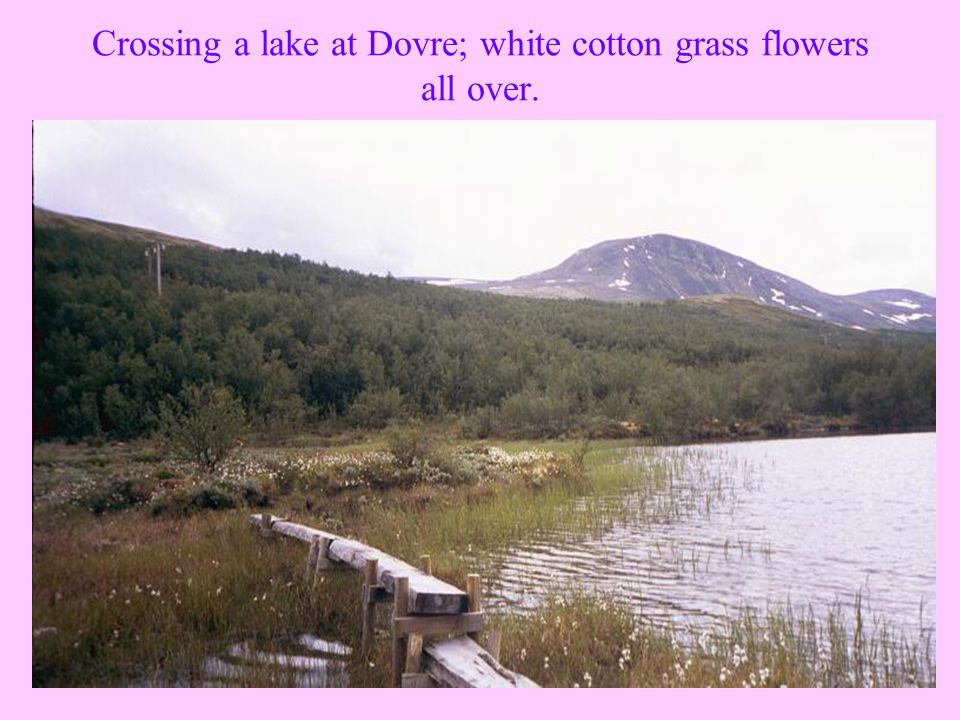 Crossing a lake at Dovre; white cotton grass flowers all over.