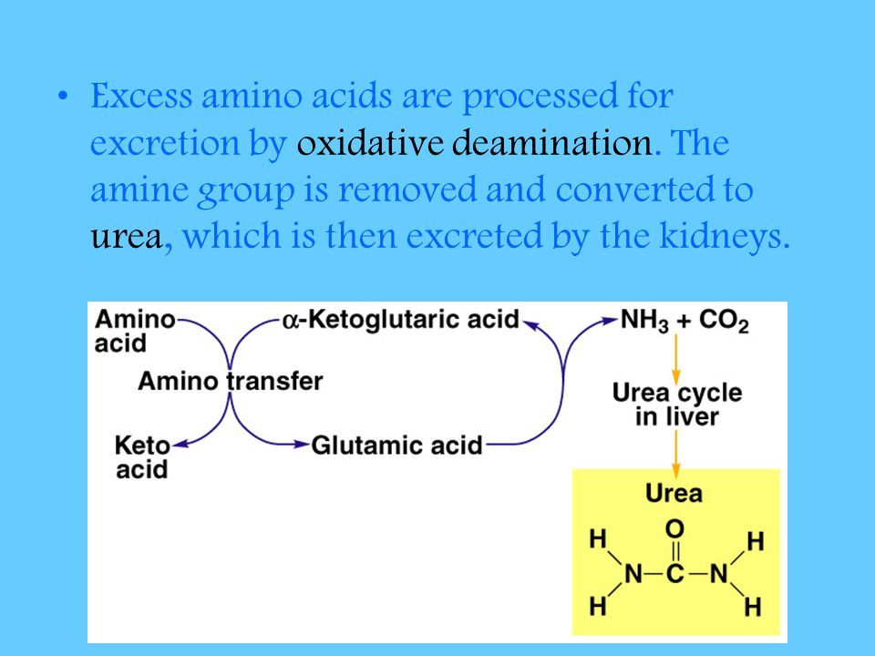 Excess amino acids are processed for excretion by oxidative deamination. The amine group is removed and converted to urea, which is then excreted by t