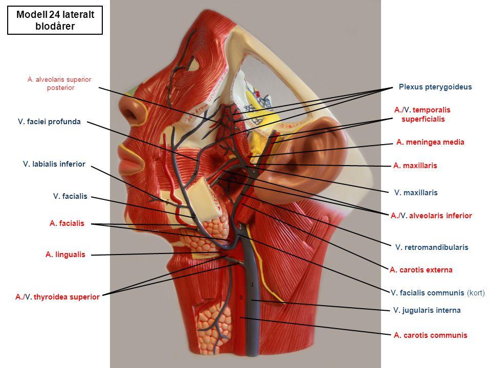 Modell 24 lateralt nerver, kjertler N.temporalis superficialis (N.