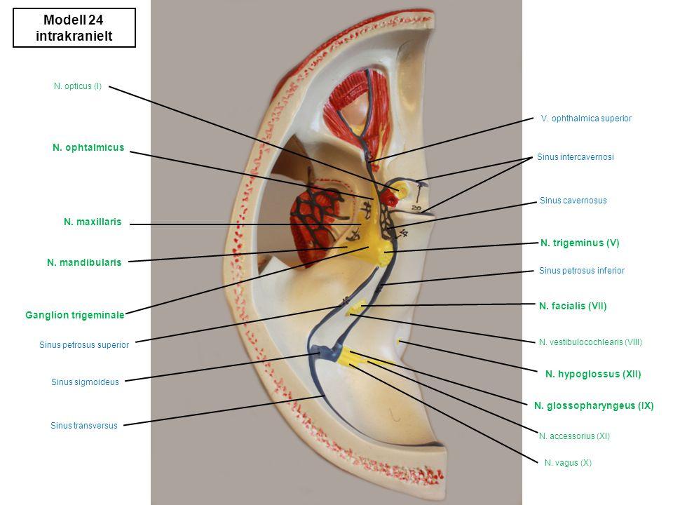 Modell 24 venstre medialt diverse M.orbicularis oris M.