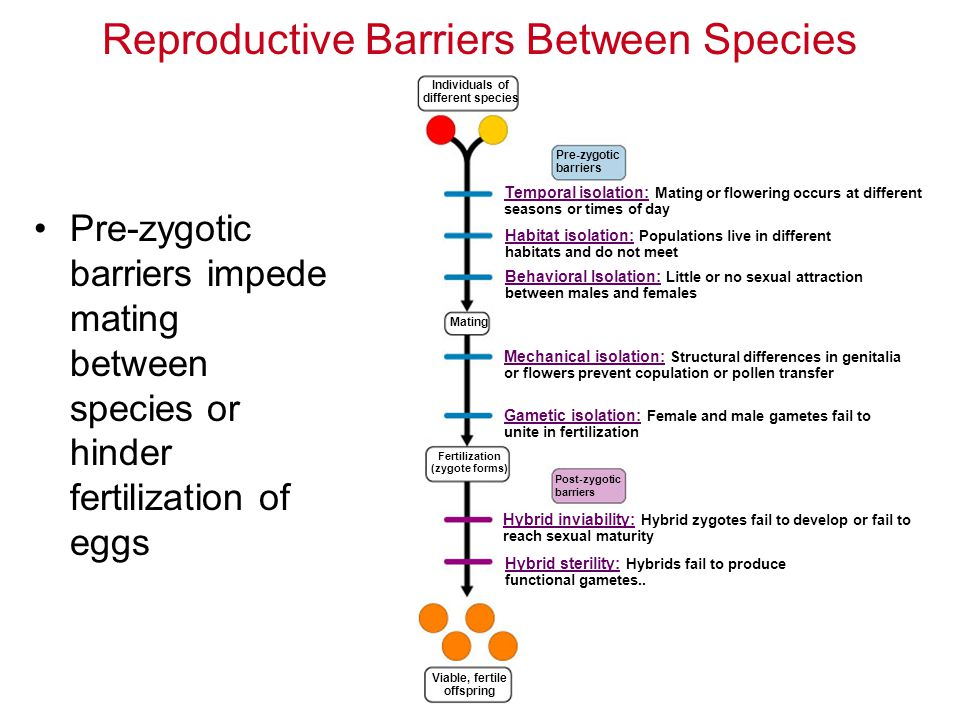 Pre-zygotic barriers impede mating between species or hinder fertilization of eggs Reproductive Barriers Between Species Individuals of different species Pre-zygotic barriers Temporal isolation: Mating or flowering occurs at different seasons or times of day Habitat isolation: Populations live in different habitats and do not meet Behavioral Isolation: Little or no sexual attraction between males and females Mating Mechanical isolation: Structural differences in genitalia or flowers prevent copulation or pollen transfer Gametic isolation: Female and male gametes fail to unite in fertilization Fertilization (zygote forms) Post-zygotic barriers Hybrid inviability: Hybrid zygotes fail to develop or fail to reach sexual maturity Hybrid sterility: Hybrids fail to produce functional gametes..