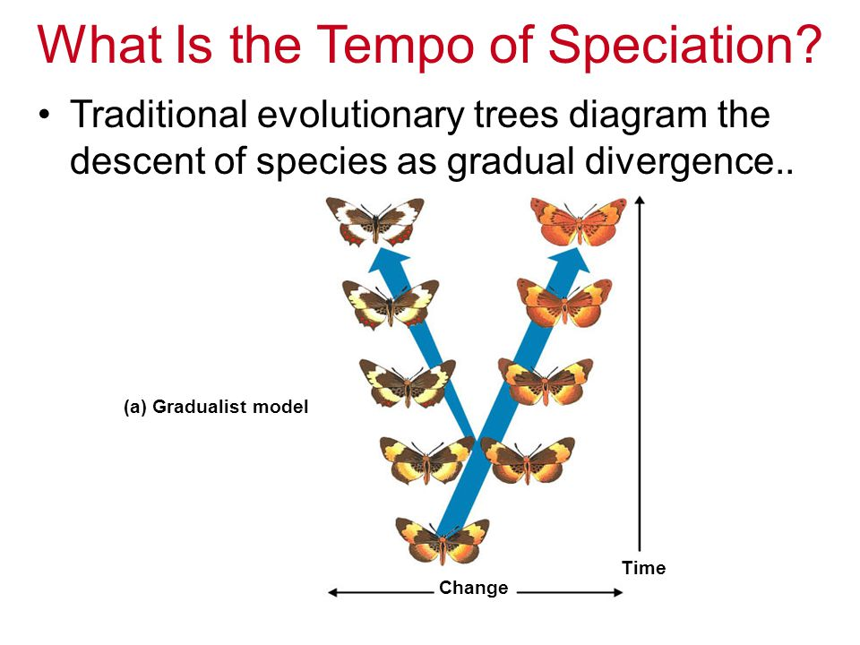 Punctuated equilibrium –Is a contrasting model of evolution –States that species most often diverge in spurts of relatively rapid change –Accounts for the relative rarity of transitional fossils..