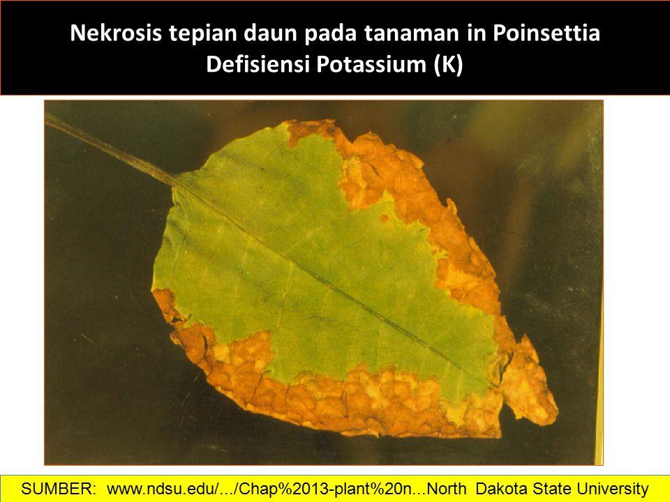 Nekrosis tepian daun pada tanaman in Poinsettia Defisiensi Potassium (K) SUMBER: www.ndsu.edu/.../Chap%2013-plant%20n...North Dakota State University