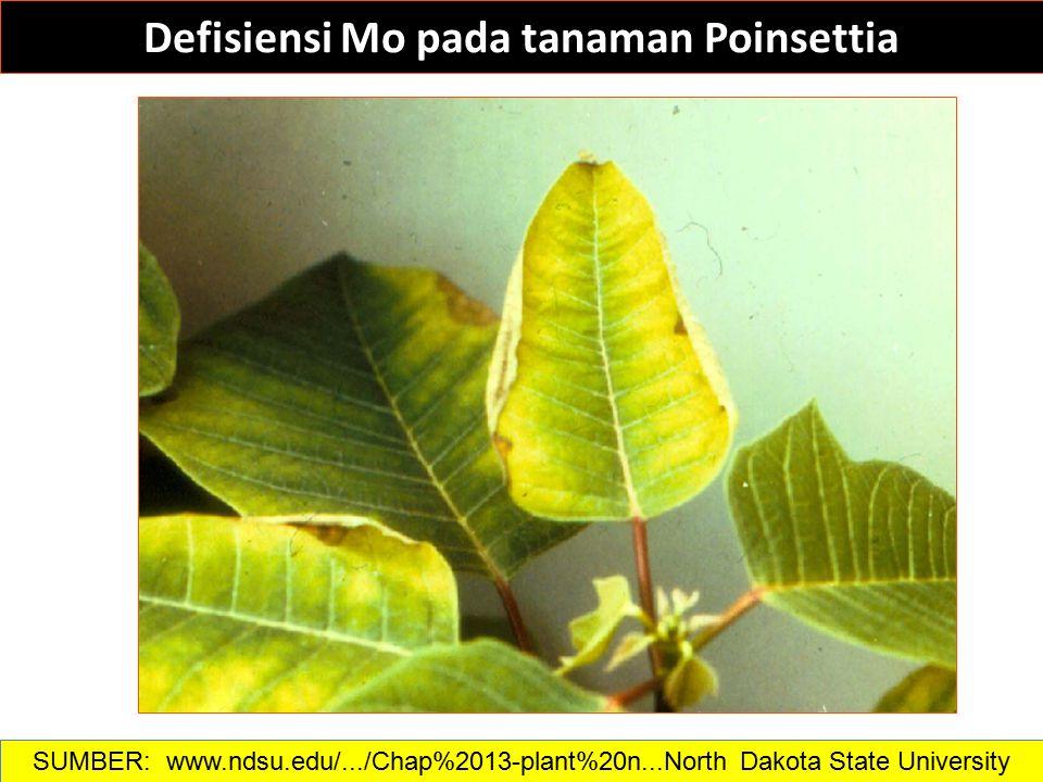 Defisiensi Mo pada tanaman Poinsettia SUMBER: www.ndsu.edu/.../Chap%2013-plant%20n...North Dakota State University