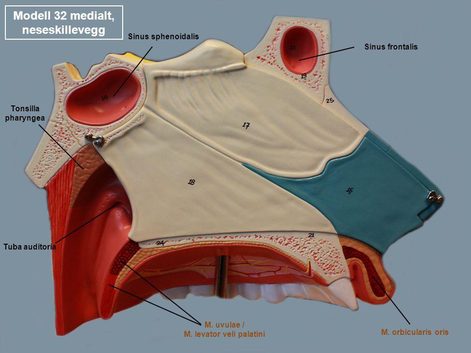Modell 32 medialt, nesehulens laterale vegg Nn.