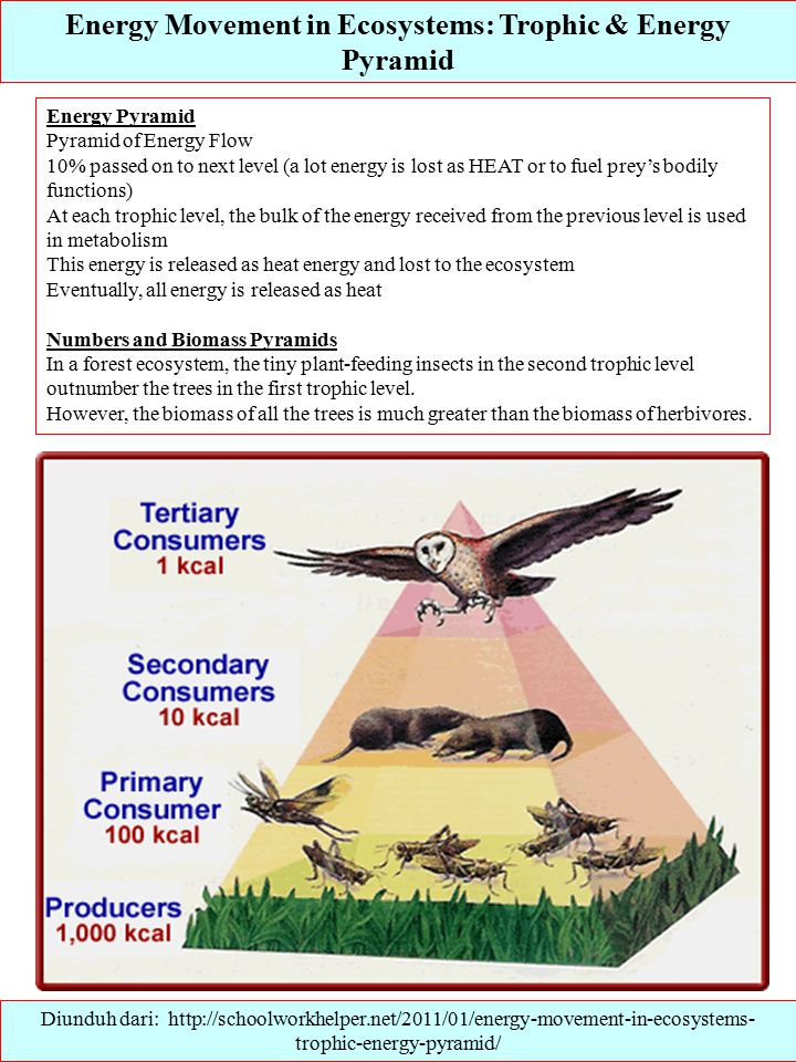 Energy Movement in Ecosystems: Trophic & Energy Pyramid Diunduh dari: http://schoolworkhelper.net/2011/01/energy-movement-in-ecosystems- trophic-energy-pyramid/ Energy Pyramid Pyramid of Energy Flow 10% passed on to next level (a lot energy is lost as HEAT or to fuel prey's bodily functions) At each trophic level, the bulk of the energy received from the previous level is used in metabolism This energy is released as heat energy and lost to the ecosystem Eventually, all energy is released as heat Numbers and Biomass Pyramids In a forest ecosystem, the tiny plant-feeding insects in the second trophic level outnumber the trees in the first trophic level.