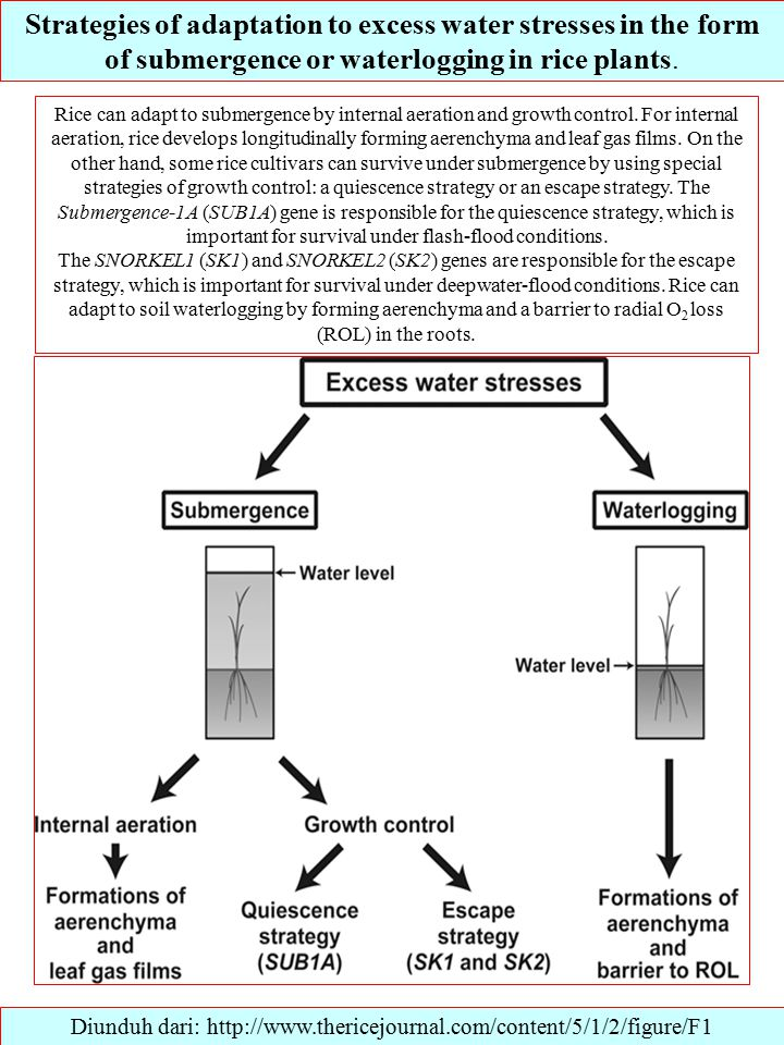 Strategies of adaptation to excess water stresses in the form of submergence or waterlogging in rice plants.