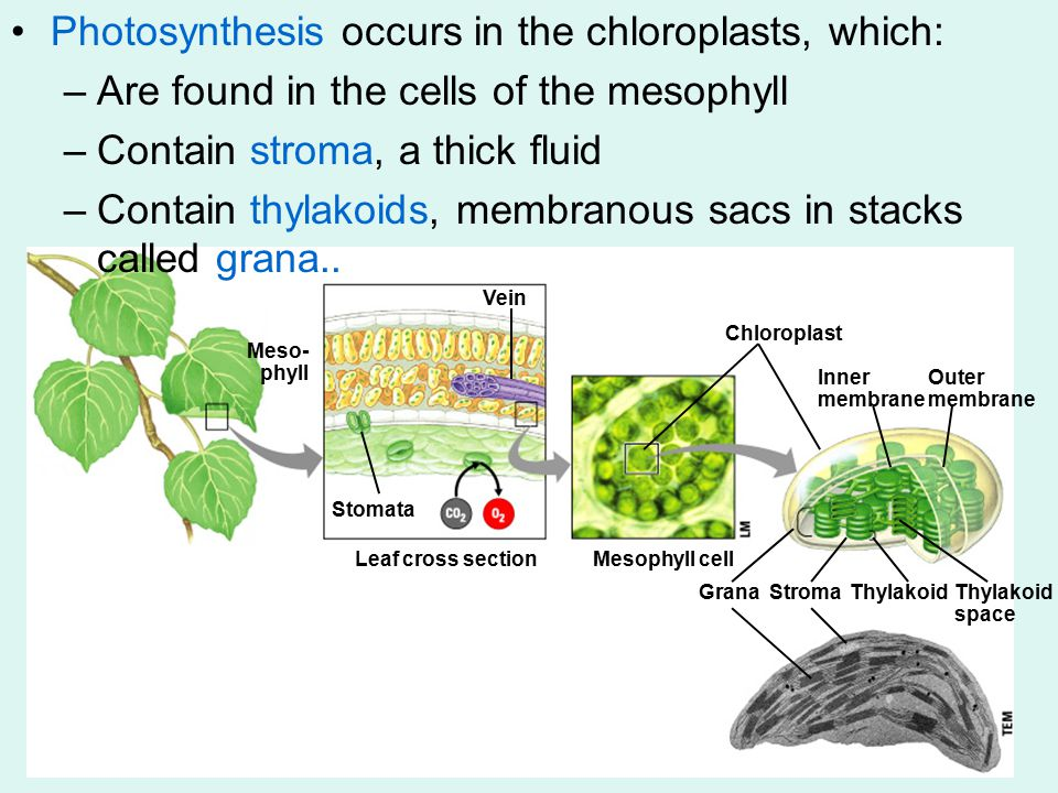 Meso- phyll Vein Stomata Leaf cross sectionMesophyll cell Chloroplast Inner membrane Outer membrane GranaStromaThylakoid space Photosynthesis occurs in the chloroplasts, which: –Are found in the cells of the mesophyll –Contain stroma, a thick fluid –Contain thylakoids, membranous sacs in stacks called grana..