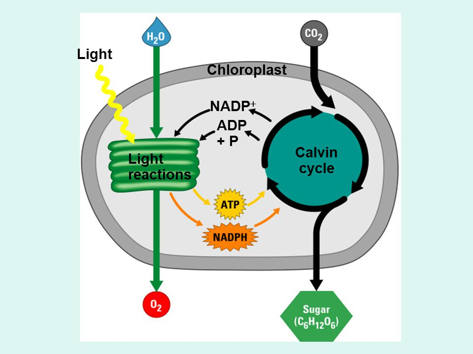 Light Chloroplast Light reactions Calvin cycle NADP  ADP + P