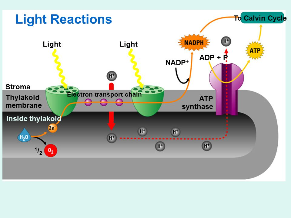 Light To Calvin Cycle Stroma Thylakoid membrane Electron transport chain ATP synthase Inside thylakoid 1/21/2 NADP  ADP + P Light Reactions