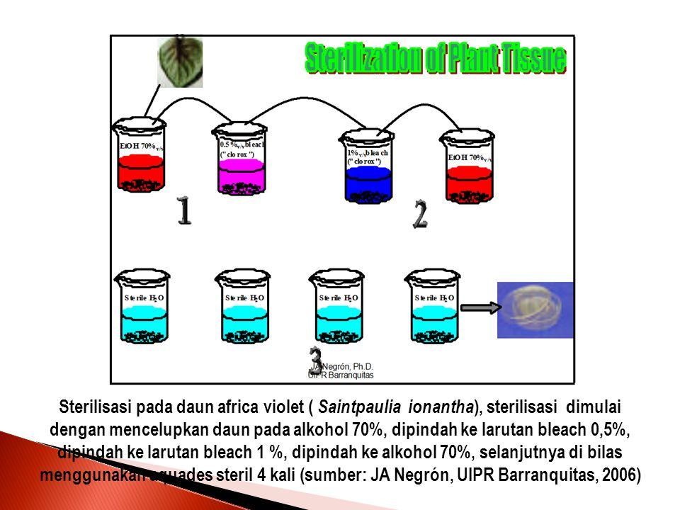 Sterilisasi pada daun africa violet ( Saintpaulia ionantha ), sterilisasi dimulai dengan mencelupkan daun pada alkohol 70%, dipindah ke larutan bleach 0,5%, dipindah ke larutan bleach 1 %, dipindah ke alkohol 70%, selanjutnya di bilas menggunakan aquades steril 4 kali (sumber: JA Negrón, UIPR Barranquitas, 2006)