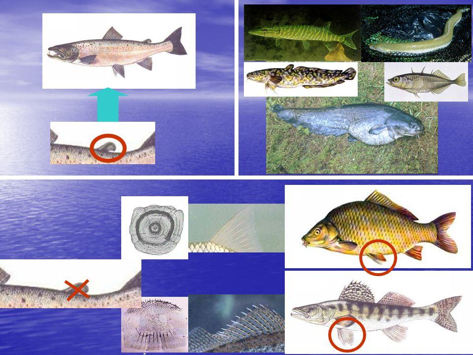 kostnatí (Teleostei) máloostní - Cypriniformes čeleď (familia): * kaprovití (Cyprinidae) * sekavcovití (Cobitidae) * mřenkovití (Balitoridae) max.