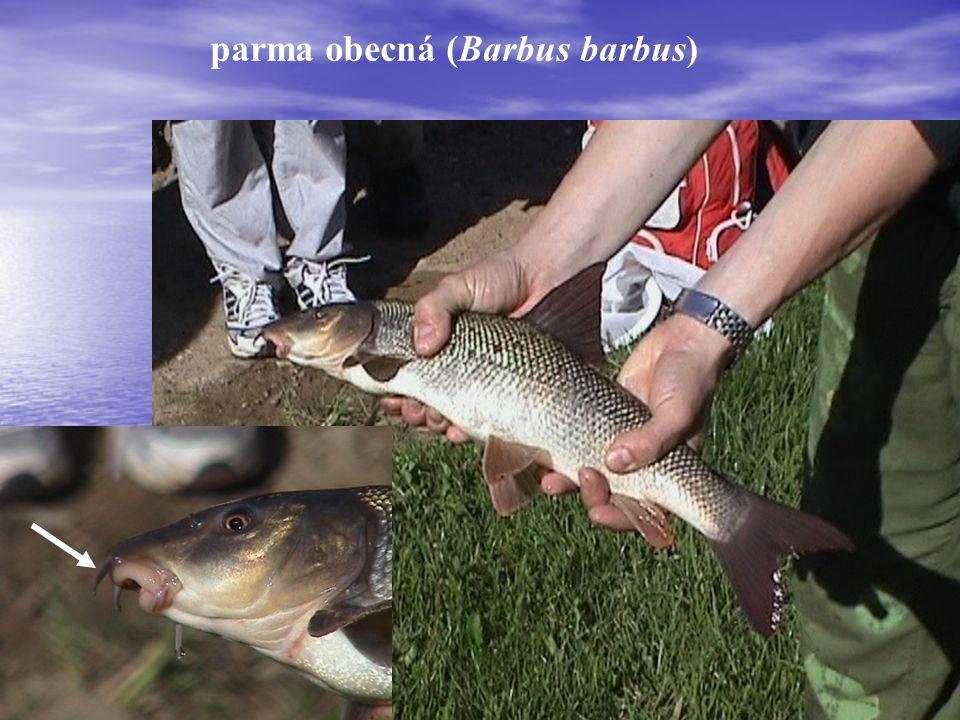 parma obecná (Barbus barbus)