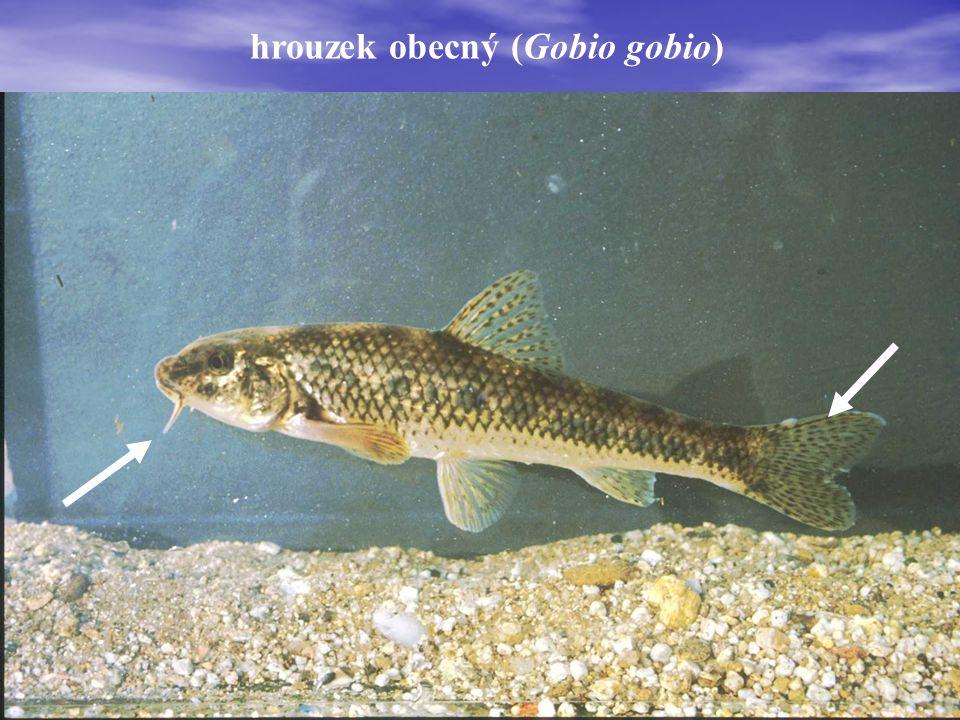 hrouzek obecný (Gobio gobio)