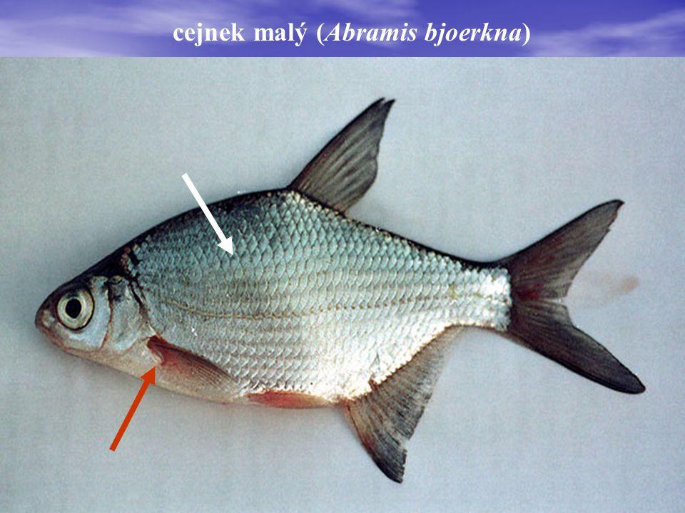 cejnek malý (Abramis bjoerkna)