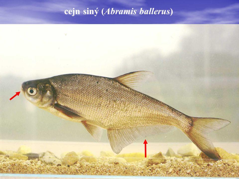 cejn siný (Abramis ballerus)