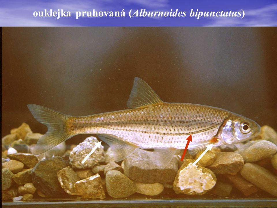 ouklejka pruhovaná (Alburnoides bipunctatus)