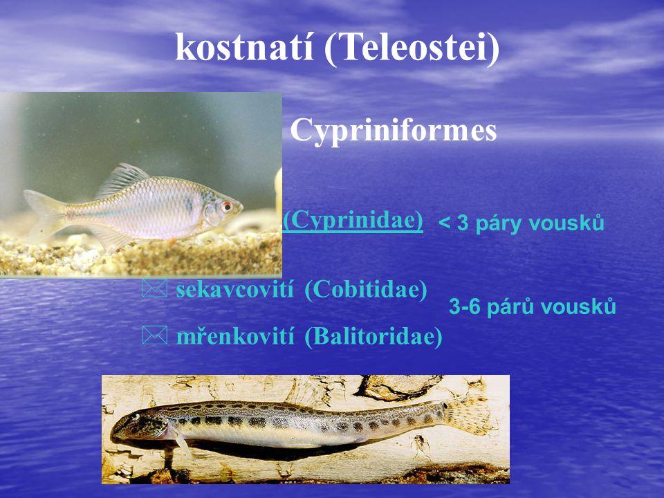 kostnatí (Teleostei) máloostní - Cypriniformes čeleď (familia): * kaprovití (Cyprinidae) * sekavcovití (Cobitidae) * mřenkovití (Balitoridae) < 3 páry vousků 3-6 párů vousků