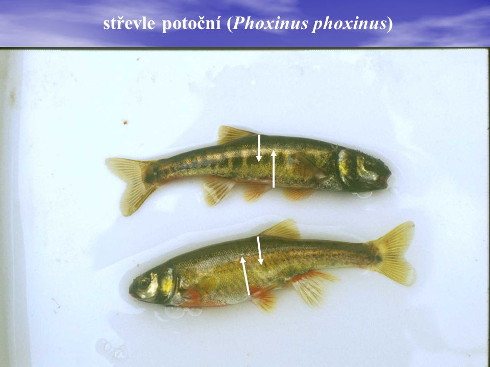 střevle potoční (Phoxinus phoxinus)