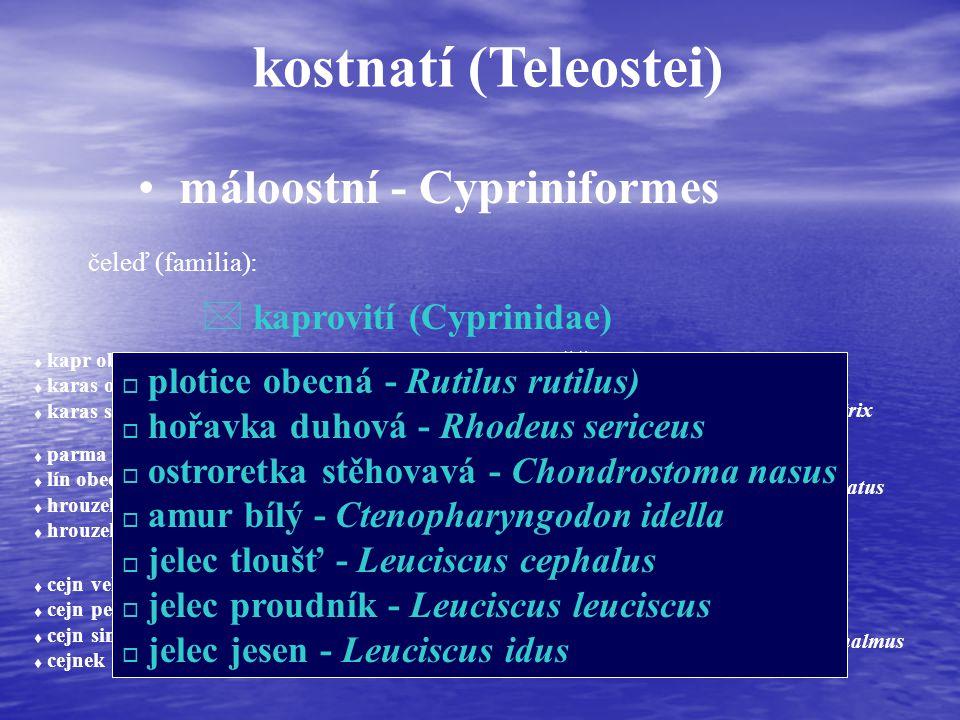 kostnatí (Teleostei) máloostní - Cypriniformes čeleď (familia): * kaprovití (Cyprinidae) t kapr obecný - Cyprinus carpio t karas obecný - Carassius carassius t karas stříbřitý - Carassius auratus t parma obecná - Barbus barbus t lín obecný - Tinca tinca t hrouzek obecný - Gobio gobio t hrouzek běloploutvý - Gobio albipinnatus t cejn velký - Abramis brama t cejn perleťový - Abramis sapa t cejn siný - Abramis ballerus t cejnek malý - Abramis bjoerkna t podoustev říční - Vimba vimba t ostrucha křivočará - Pelecus cultratus t tolstolobik bílý- Hypophthalmichthys molitrix t tolstolobec pestrý - Aristichthys nobilis t ouklej obecná - Alburnus alburnus t ouklejka pruhovaná - Alburnoides bipunctatus t bolen dravý - Aspius aspius t střevle potoční - Phoxinus phoxinus t slunka obecná - Leucaspius delineatus t střevlička východní - Pseudorasbora parva t perlín ostrobřichý - Scardinius erythrophthalmus o plotice obecná - Rutilus rutilus) o hořavka duhová - Rhodeus sericeus o ostroretka stěhovavá - Chondrostoma nasus o amur bílý - Ctenopharyngodon idella o jelec tloušť - Leuciscus cephalus o jelec proudník - Leuciscus leuciscus o jelec jesen - Leuciscus idus