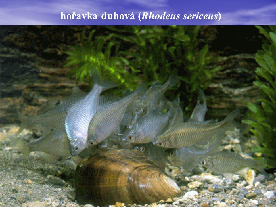 hořavka duhová (Rhodeus sericeus)