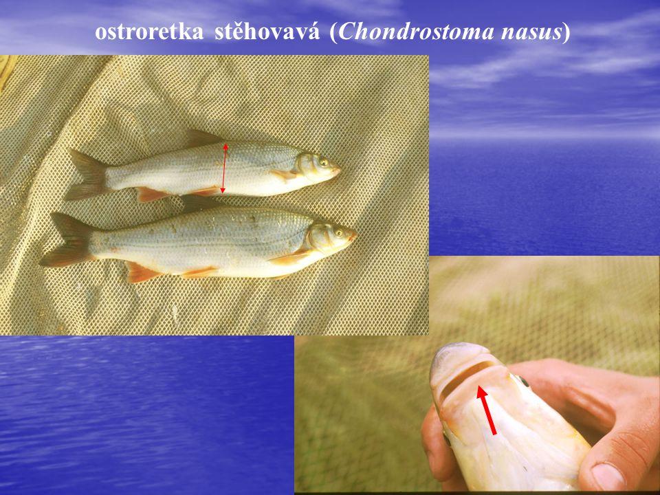 ostroretka stěhovavá (Chondrostoma nasus)
