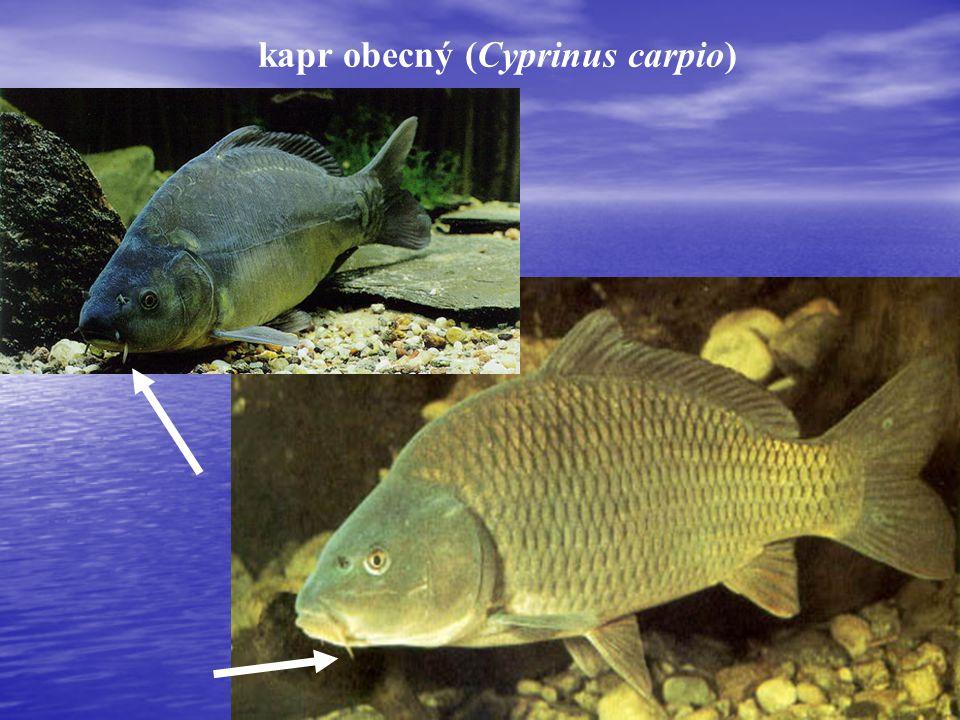 karas obecný (Carassius carassius)