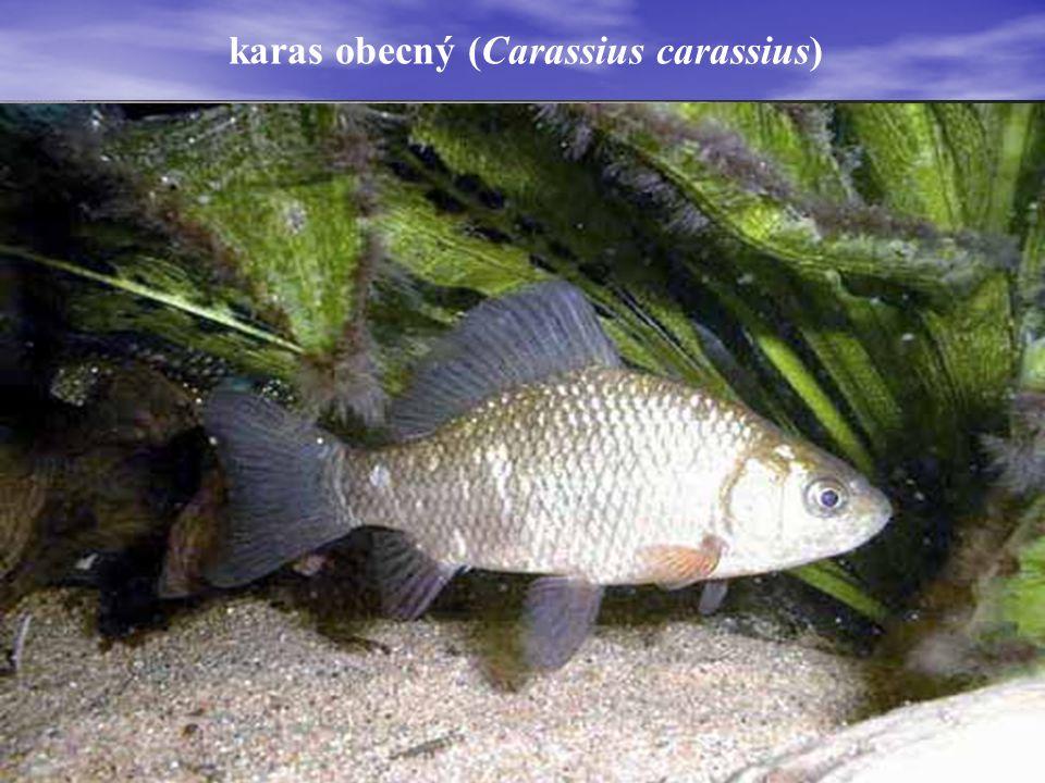 karas stříbřitý (Carassius auratus)