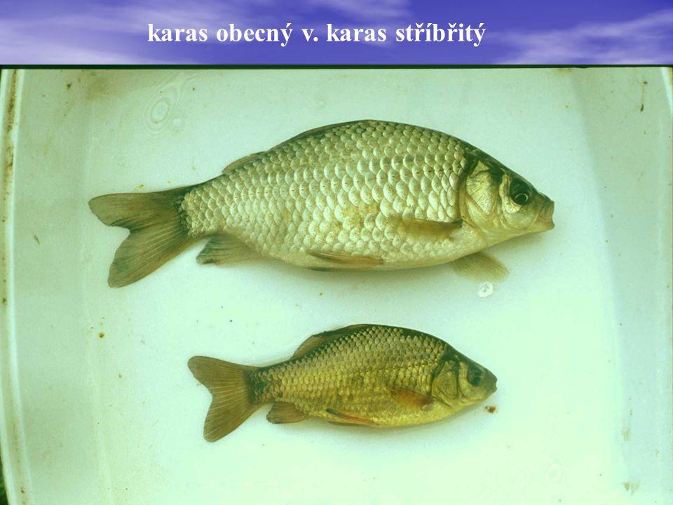 kostnatí (Teleostei) máloostní - Cypriniformes čeleď (familia): * kaprovití (Cyprinidae) t kapr obecný - Cyprinus carpio t karas obecný - Carassius carassius t karas stříbřitý - Carassius auratus t parma obecná - Barbus barbus t lín obecný - Tinca tinca t hrouzek obecný - Gobio gobio t hrouzek běloploutvý - Gobio albipinnatus t cejn velký - Abramis brama t cejn perleťový - Abramis sapa t cejn siný - Abramis ballerus t cejnek malý - Abramis bjoerkna t podoustev říční - Vimba vimba t ostrucha křivočará - Pelecus cultratus t ouklej obecná - Alburnus alburnus t ouklejka pruhovaná - Alburnoides bipunctatus o tolstolobec pestrý - Aristichthys nobilis  tolstolobik bílý- Hypophthalmichthys molitrix