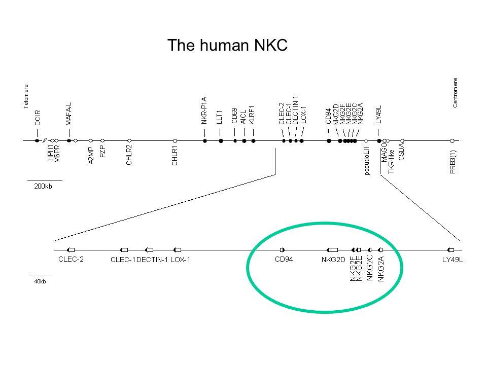 The human NKC