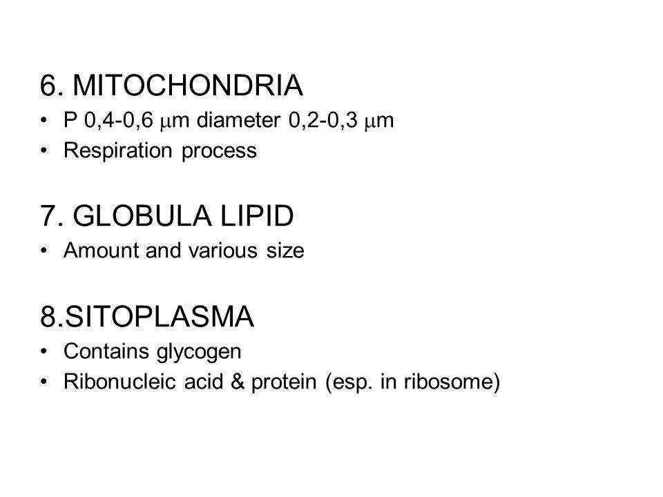 6. MITOCHONDRIA P 0,4-0,6  m diameter 0,2-0,3  m Respiration process 7. GLOBULA LIPID Amount and various size 8.SITOPLASMA Contains glycogen Ribonuc