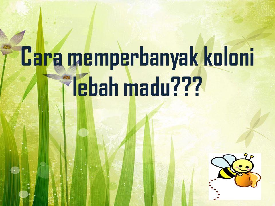 Cara memperbanyak koloni lebah madu???