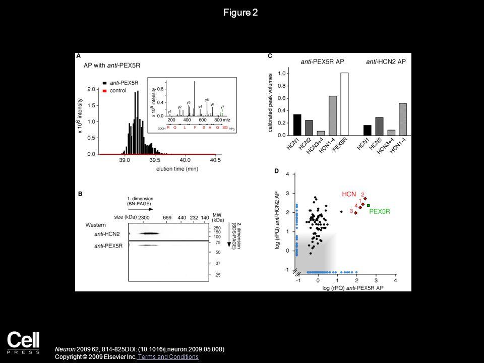 Figure 2 Neuron 2009 62, 814-825DOI: (10.1016/j.neuron.2009.05.008) Copyright © 2009 Elsevier Inc.