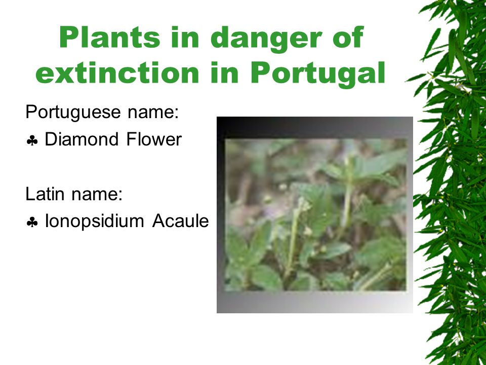 Plants in danger of extinction in Portugal Portuguese name:  Cabaceira Latin name:  Senecio Malvifolius