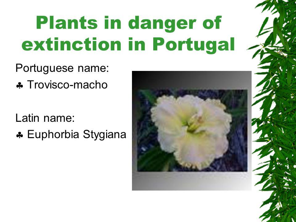 Plants in danger of extinction in Portugal Portuguese name:  Tanchagem de Malato Beliz Latin name:  Plantago malato- belizii