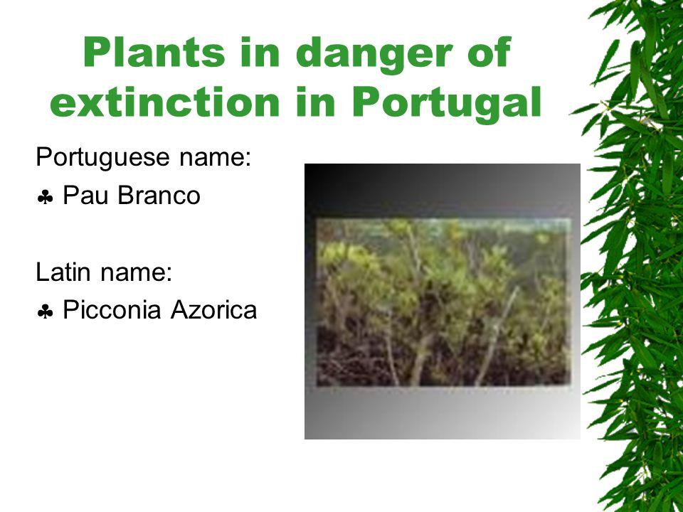 Plants in danger of extinction in Portugal Portuguese name:  Trovisco-macho Latin name:  Euphorbia Stygiana