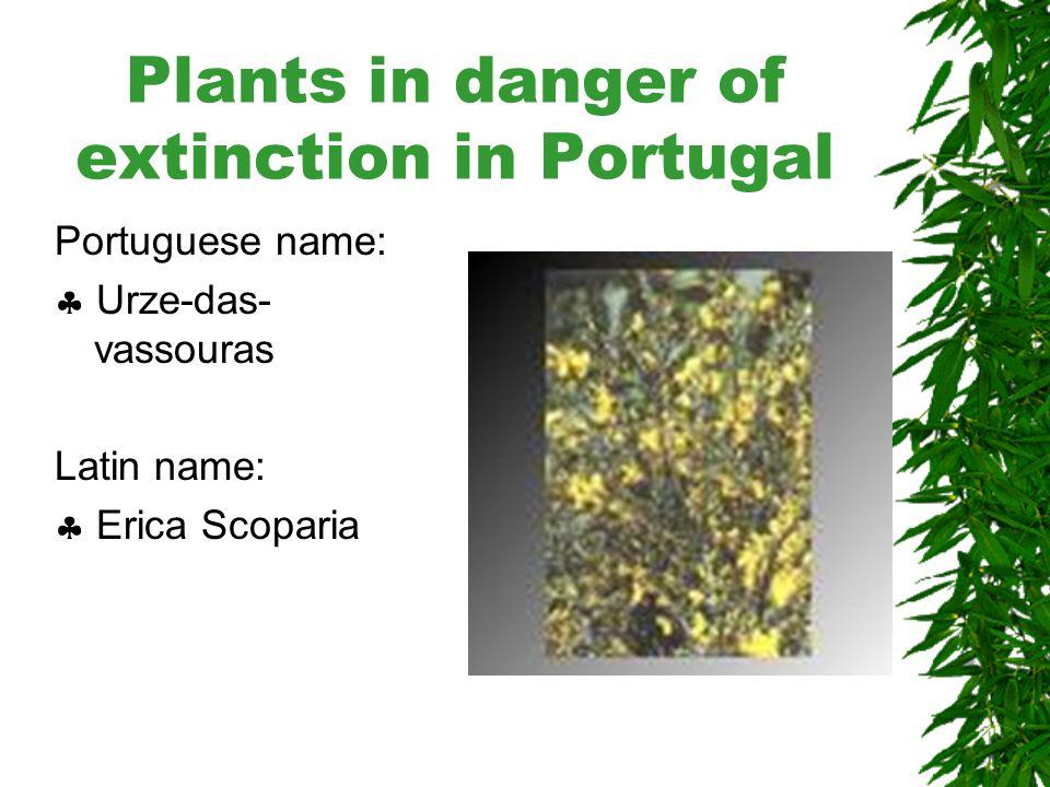 Plants in danger of extinction in Portugal Portuguese name:  Pau Branco Latin name:  Picconia Azorica