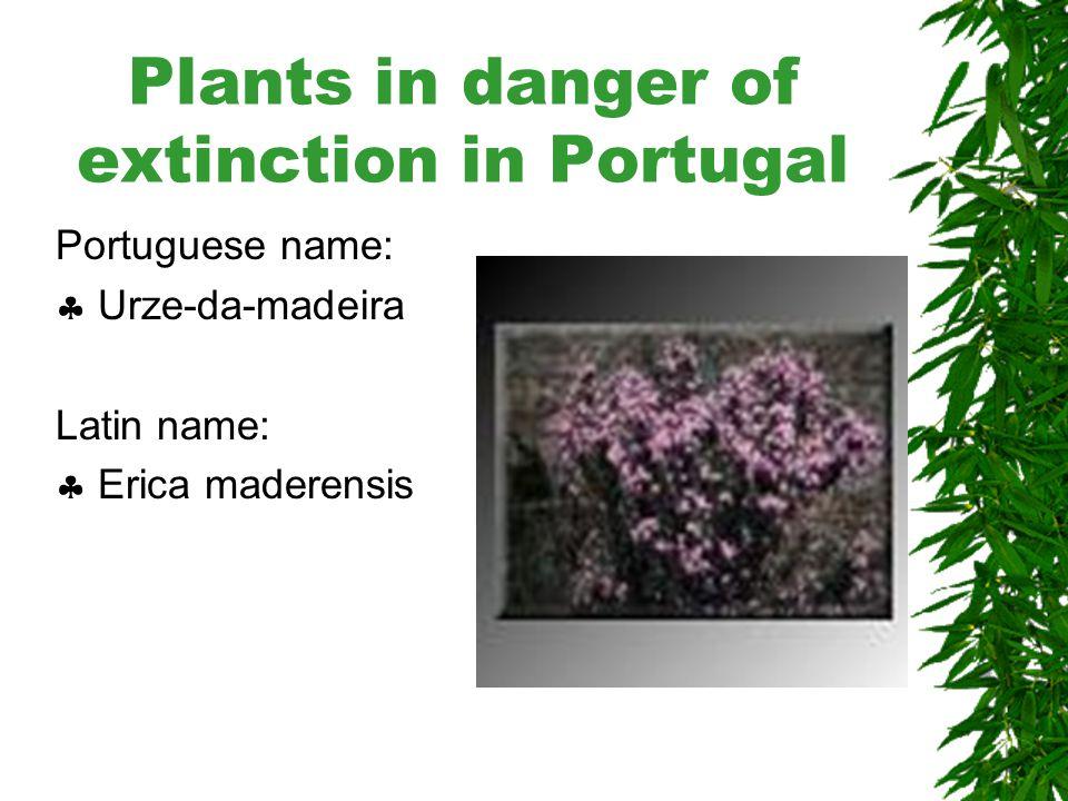 Plants in danger of extinction in Portugal Portuguese name:  Urze-das- vassouras Latin name:  Erica Scoparia