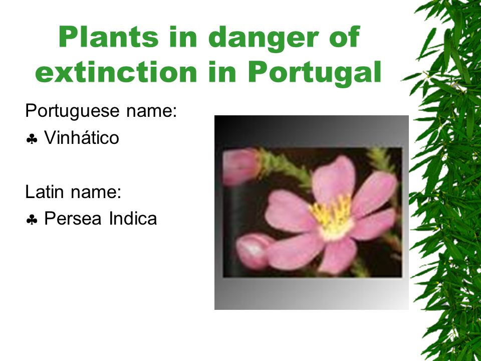 Plants in danger of extinction in Portugal Portuguese name:  Urze-da-madeira Latin name:  Erica maderensis