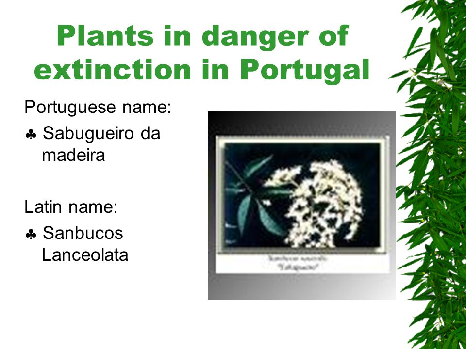 Plants in danger of extinction in Portugal Portuguese name:  Vinhático Latin name:  Persea Indica