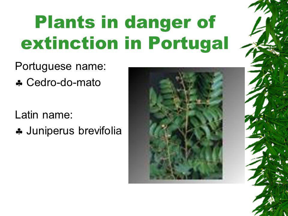 Plants in danger of extinction in Portugal Portuguese name:  Sabugueiro da madeira Latin name:  Sanbucos Lanceolata