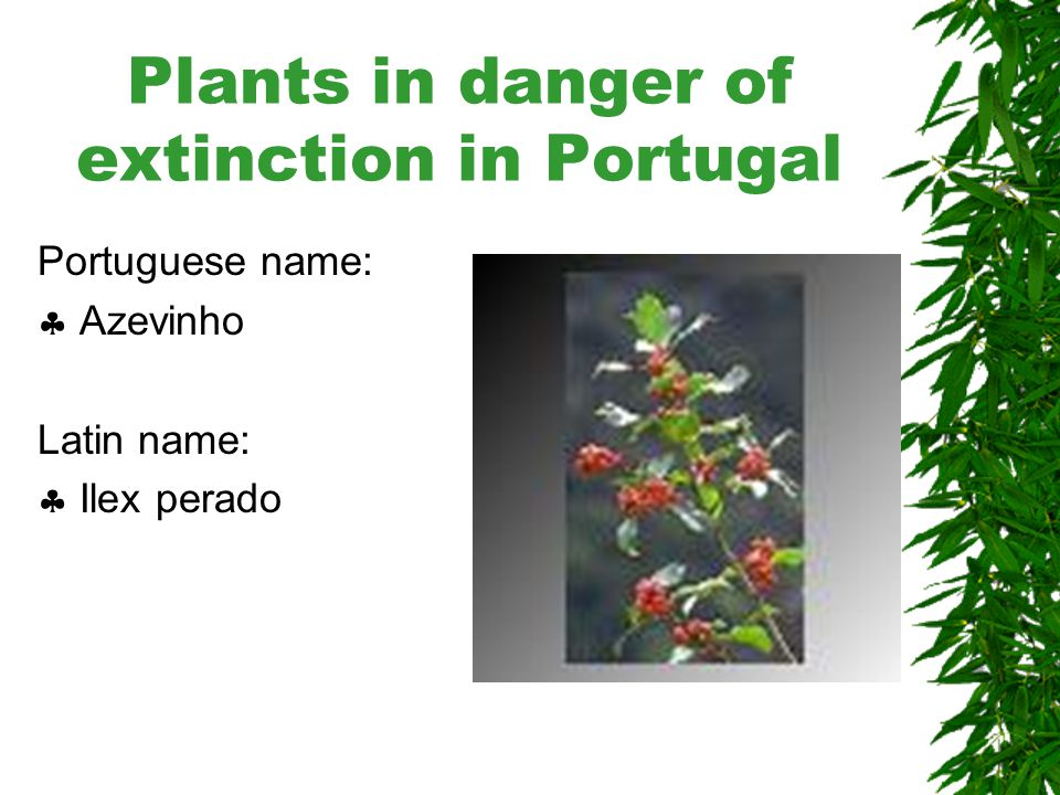 Plants in danger of extinction in Portugal Portuguese name:  Eruca Divina Latin name:  Armeria welwitschii