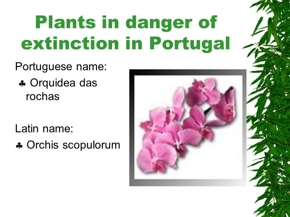 Plants in danger of extinction in Portugal Portuguese name:  Azevinho Latin name:  Ilex perado