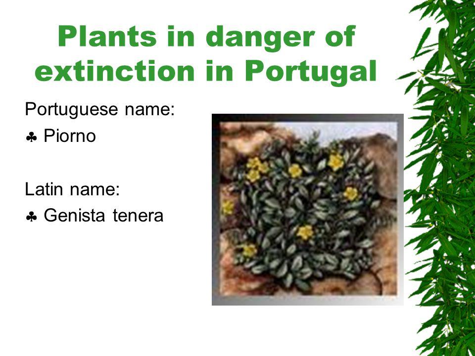 Plants in danger of extinction in Portugal Portuguese name:  Orquidea das rochas Latin name:  Orchis scopulorum