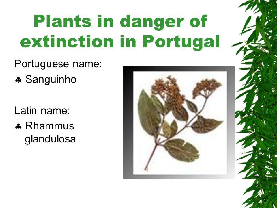 Plants in danger of extinction in Portugal Portuguese name:  Piorno Latin name:  Genista tenera
